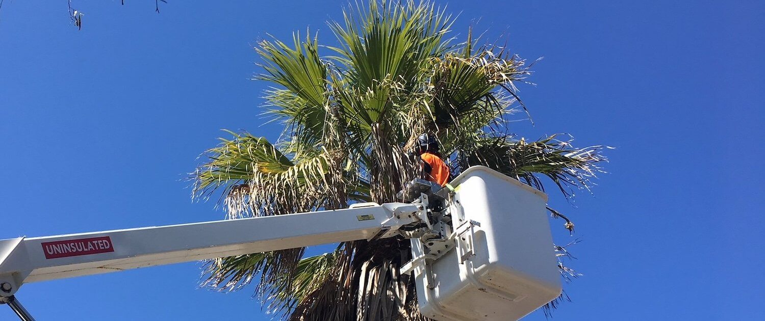 Palm Tree fronds and nut removal by Green Works Tree Care