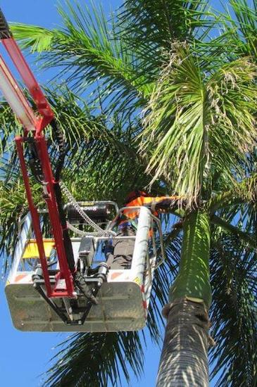 palm tree maintenance by Green Works Tree Care